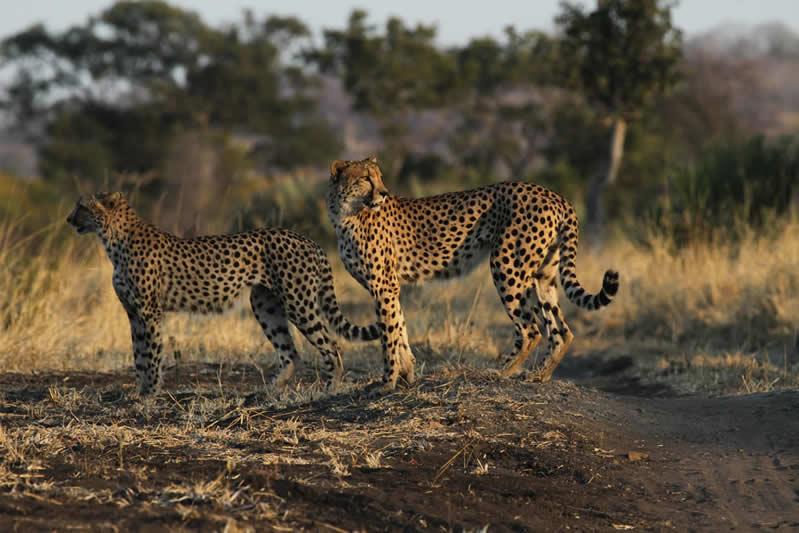 Cheetah Pair - Malilangwe - Lowveld - Zimbabwe - JGS