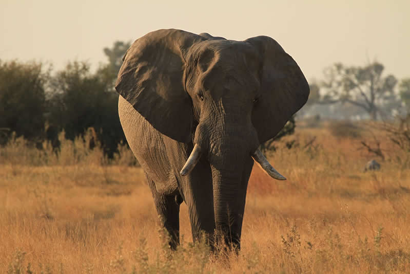 Elephant - Zambia - JGS