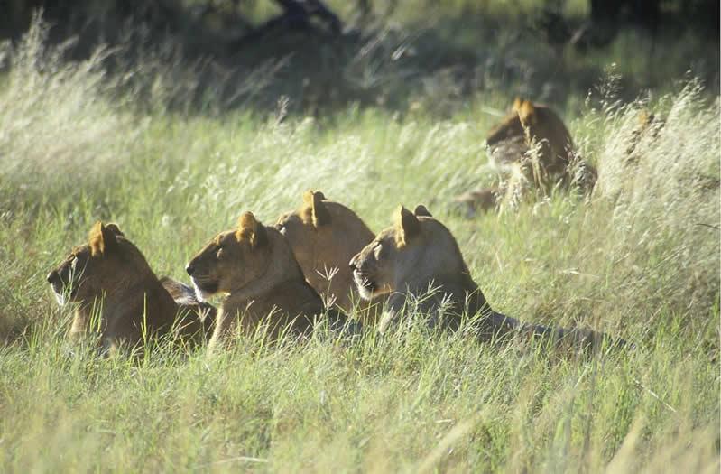 Lionesses - Selinda Botswana - JGS