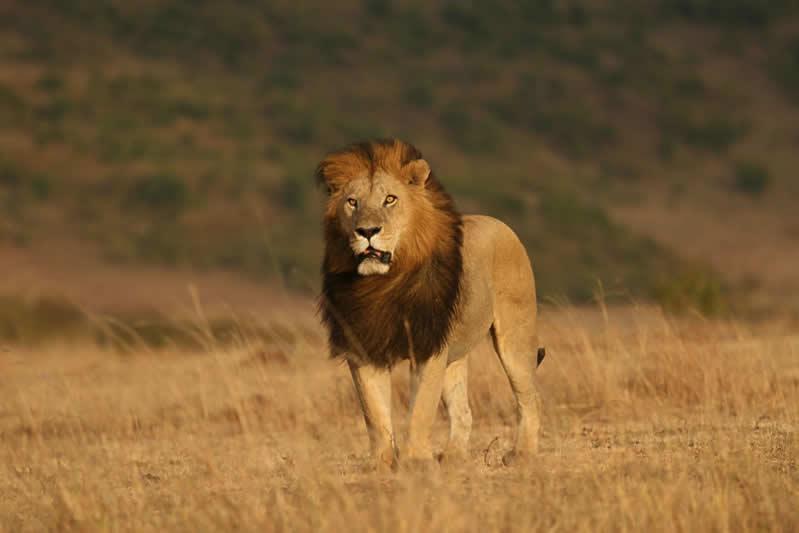 Male Lion-Serengeti - Tanzania - JGS